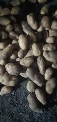 吉林省四平市公主岭市荷兰15号土豆 3两以上