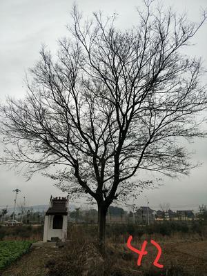 安徽省滁州市南谯区丛生朴树