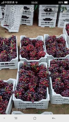 河北省石家庄市晋州市巨峰葡萄 2斤以上 5%以下 1次果