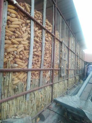 吉林省通化市柳河县玉米湿粮 杂质很少 水份20%-30%