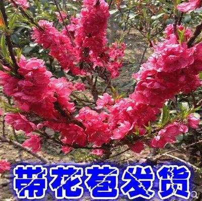 山东省临沂市平邑县桃梅
