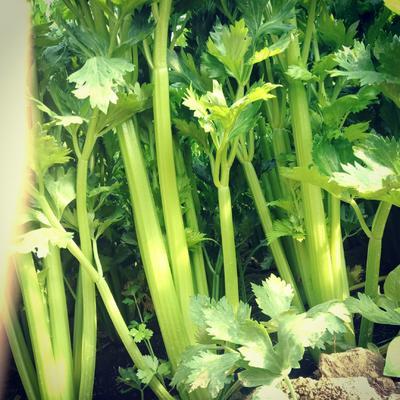 山东省菏泽市定陶县西芹 60cm以上 1.0~1.5斤 大棚种植