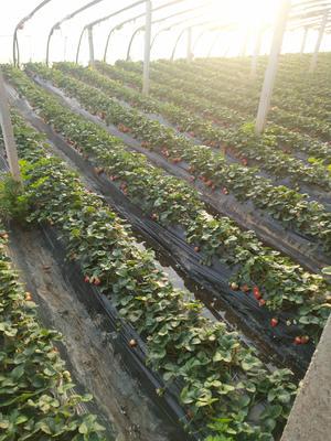 山东省烟台市栖霞市有机草莓 30克以上