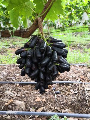 云南省大理白族自治州宾川县蓝宝石葡萄 1-1.5斤 5%以下 1次果