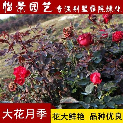 湖南省长沙市浏阳市大花月季 丰花月季小苗