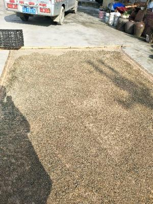 重庆秀山土家族苗族自治县黄精种子 90%以上