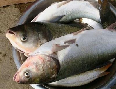 山东省东营市利津县白鲢鱼 人工养殖 1-2.5公斤