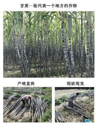 广东省潮州市湘桥区黑皮甘蔗 6 - 8cm 2.5 - 3m