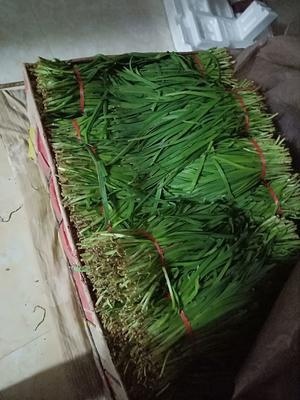 山西省长治市长子县大叶韭菜 二茬 20~30cm