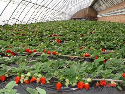 山东省临沂市平邑县香莓苗 10公分以下 地栽苗