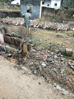 江西省上饶市余干县多蛋鸭 2-3斤 母 全散养