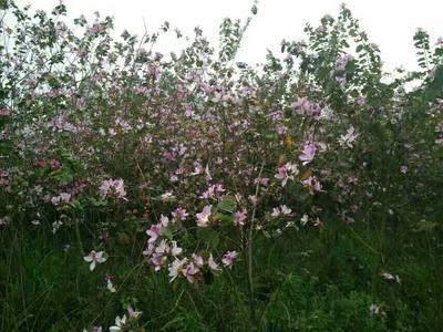 广西壮族自治区来宾市兴宾区岭南洋紫荆树