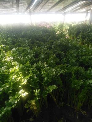 河南省周口市西华县美国文图拉芹菜 40~45cm 0.5~1.0斤 大棚种植
