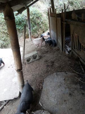 广西壮族自治区河池市巴马瑶族自治县巴马香猪 20-40斤