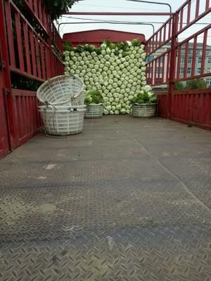 浙江省台州市温岭市菊锦大白菜 3~6斤 二毛菜