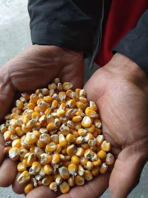 黑龙江省佳木斯市同江市玉米干粮 杂质很少 水份<14%
