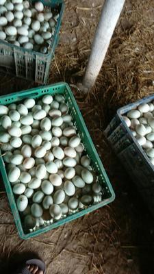 广西壮族自治区钦州市钦北区海鸭蛋 食用 散装