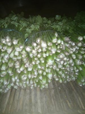 河南省商丘市夏邑县西芹 45~50cm 0.5斤以下 大棚种植