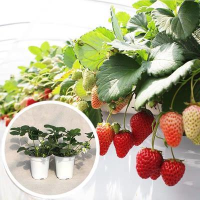 山东省临沂市平邑县四季草莓苗 20~30公分 地栽苗