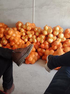 湖南省永州市冷水滩区沙田柚 1.5斤以上