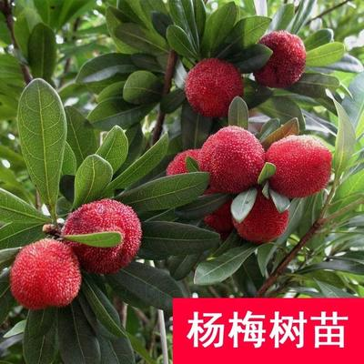 这是一张关于东槐杨梅苗 的产品图片