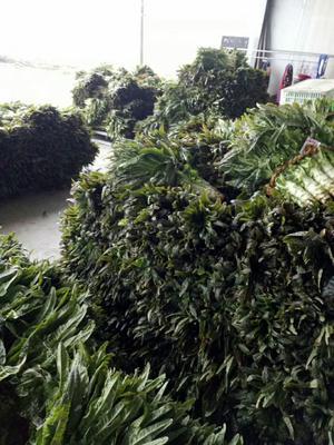 安徽省池州市贵池区红叶莴笋 1.5~2.0斤 50-60cm