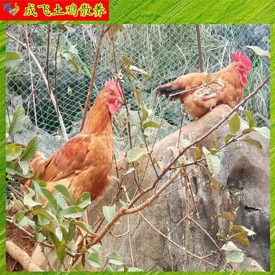广西壮族自治区百色市田东县白条鸡 新鲜