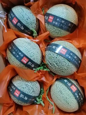 海南省三亚市崖州区网纹瓜  3斤以上 日本井藤瓜网纹玫珑瓜