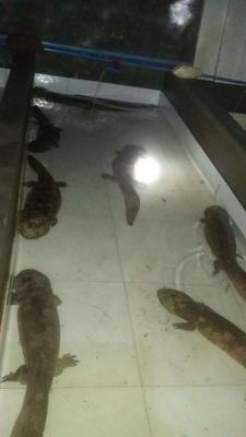 娃娃鱼人工养殖 5斤以下