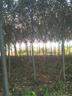 山东省潍坊市诸城市日本红叶樱花 3.5米~5米 4~6公分