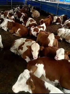 山西省忻州市五台县西门塔尔牛 600-800斤 统货