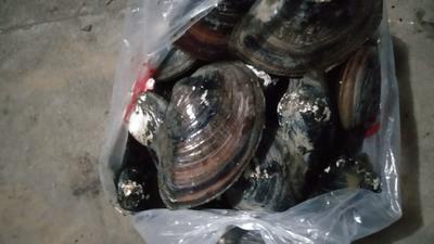 这是一张关于褶纹冠蚌 人工养殖 的产品图片
