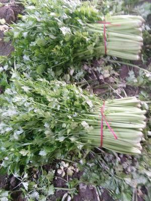 河北省保定市蠡县法国皇后芹菜 50~55cm 0.5~1.0斤 大棚种植
