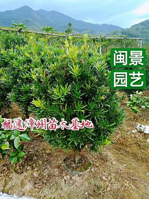 福建省漳州市龙海市罗汉松  头径5公分 闽景园艺