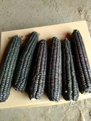 安徽省亳州市谯城区富硒黑玉米 净货 水份14%-16%