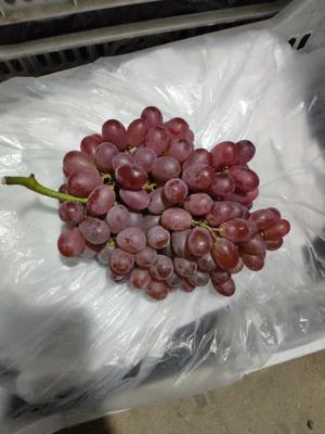 山东省青岛市莱西市克瑞森无核葡萄 1.5- 2斤 5%以下 1次果
