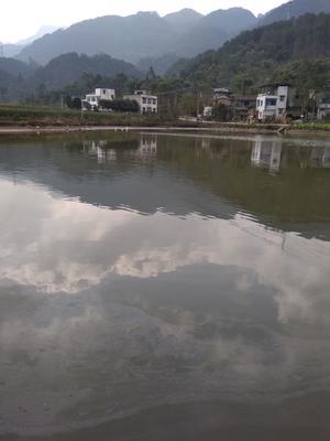 重庆巴南区池塘草鱼 人工养殖 1.5-6公斤