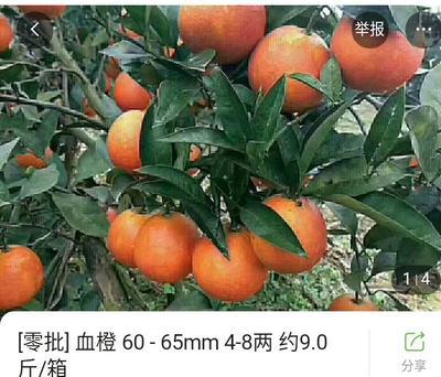 四川省宜宾市江安县血桔 >8cm 4两以上