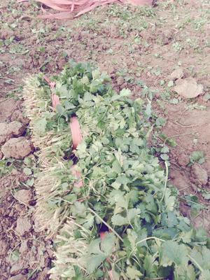 山东省菏泽市牡丹区大叶香菜 20~25cm