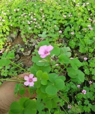 山东省潍坊市青州市红花酢浆草