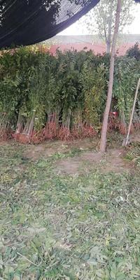 山东省泰安市岱岳区红油香椿