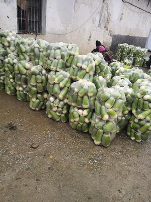 河南省信阳市平桥区青头萝卜 1~1.5斤