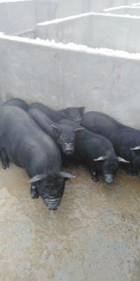 这是一张关于黑猪 20-25斤 的产品图片