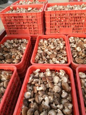 辽宁省葫芦岛市建昌县香菇0912 鲜香菇 2.5cm~4cm 冬菇