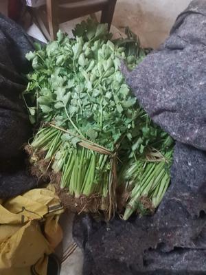 山东省临沂市莒南县山芹 40cm以下 0.5斤以下 大棚种植