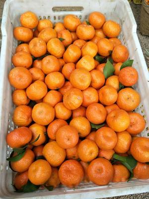 广西壮族自治区玉林市玉州区沙糖桔 统货 1 - 1.5两