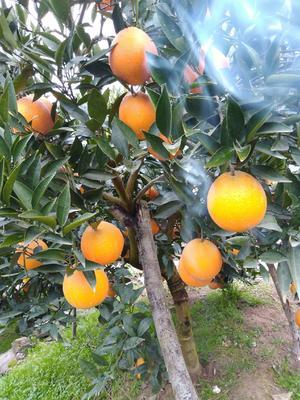 这是一张关于伦晚脐橙 70-75mm 8两以上 的产品图片