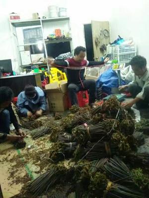 这是一张关于野生蕨菜 鲜货 的产品图片