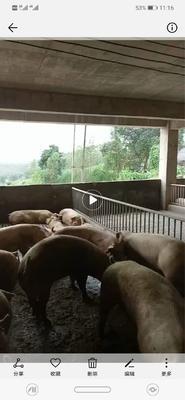 这是一张关于大约克猪 100斤以上 的产品图片