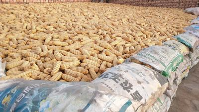 内蒙古自治区包头市土默特右旗垦玉10号玉米粒 净货 水份17%-20%